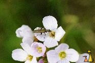 Flower Beetle on a Cuckooflower, Landet, Sweden, flower, bug, beetle, Cardamine pratensis, Oedemera virescens, macro, green