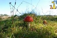Fly agaric, Angarnsjöängen, Sweden, plant, mushroom, Fly agaric, Fly Amanit, Amanita muscaria