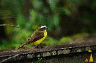 Flycatcher on Track, Ammo Dump, Canal, Panama, bird, green, yellow, Myiozetetes similis, rails