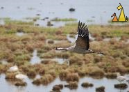 Flying Crane, Hornborgasjön, Sweden, bird, Grus grus, Common Crane, flying