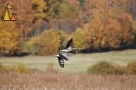 Flying Greylag Geese, Angarn, Sweden, autumn colors, bird, flying, Greylag Goose, Anser anser