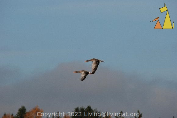 Flying Greylag geese, Angarn, Sweden, bird, flying, Greylag Goose, Anser anser