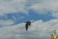 Flying Herring gull, Vancouver, Canada, nird, flying, Herring gull, Larus argentatus