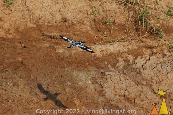Flying Pied kingfisher, Stung Sankor, Cambodia, bird, Pied kingfisher, Ceryle rudis, flying