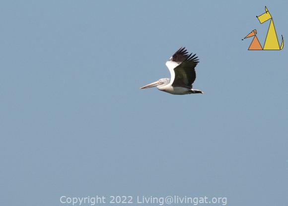 Flying Spot-billed Pelican, Stung Sankor, Cambodia , bird, Pelecanus philippensis, Spot-billed Pelican, flying, blue skyes