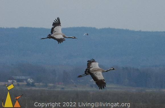 Flying in Formation, Hornborgasjön, Sweden, bird, Grus grus, Common Crane, flying