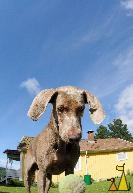 Focused dog, Landet, Sweden, dog, Canis lupus familiaris, Doris, Weimaraner, ball, blue sky, The Grey Ghost