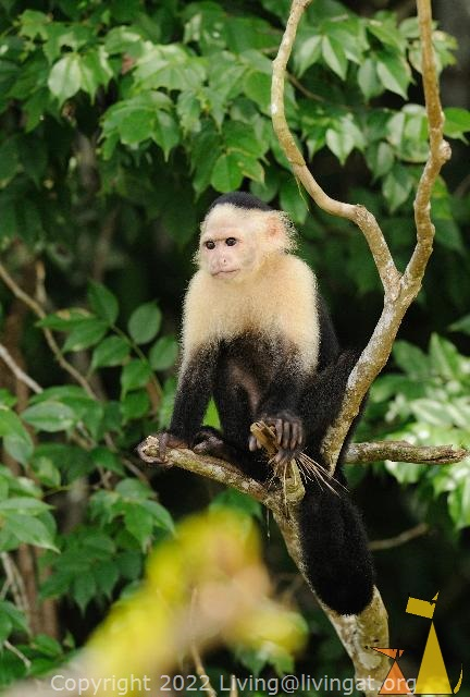 Focused monkey, Canal, Panama, mammal, monkey, Cebus capucinus, White-headed Capuchin