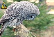 Food in sight, Skansen, Stockholm, Sweden, bird, Great Grey Owl, Strix nebulosa, captive