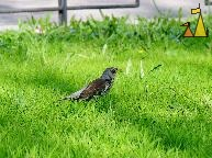 Food search, Karlavägen, Stockholm, Sweden, bird, grass, Fieldfare, Turdus pilaris