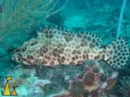 Foursaddle grouper, Koh Tao, Thailand, underwater, fish, Epinephelus spilotoceps, Foursaddle grouper