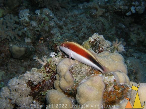 Freckled hawkfish, Red Sea, Egypt, underwater, fish, Freckled hawkfish, Blotched hawkfish, Paracirrhites forsteri
