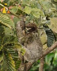 Fur Fluffing, Canopy Tower, Panama, mammal, Bradypus variegatus, Brown-throated Sloth, tree