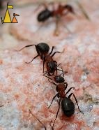 Getting acquainted, Landet, Sweden, macro, insect, ant, Formica rufa, Southern wood ant, Horse ant