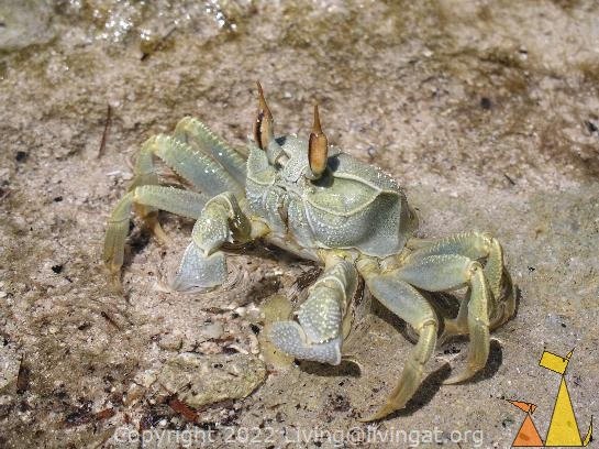 Ghost crab, Anakao, Madagascar, Ghost crab, Ocypode ceratophthalmus
