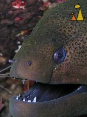 Giant moray, Burma, underwater, fish, moray, macro, Giant Moray, Gymnothorax javanicus