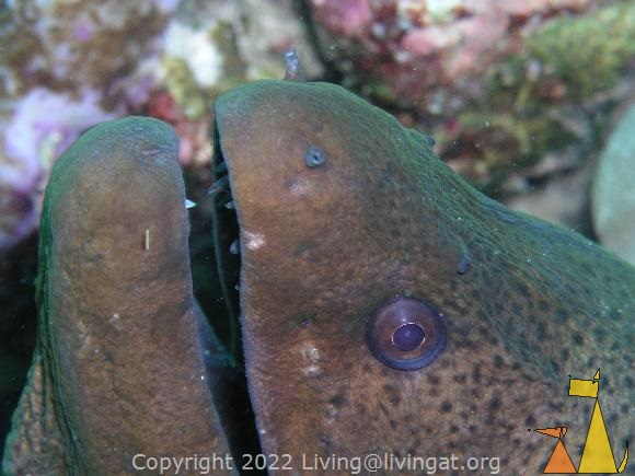 Giant moray, Maldives, underwater, fish, Giant moray, Gymnothorax javanicus