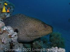 Giant moray, Red Sea, Egypt, underwater, fish, moray, Giant moray, Gymnothorax javanicus