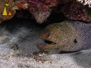 Giant moray, Red Sea, Egypt, underwater, fish, moray, Giant moray, Gymnothorax javanicus, open mouth