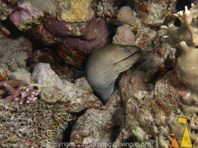 Giant moray, Red Sea, Egypt, underwater, fish, moray, Giant moray, Gymnothorax javanicus, shrimp, Banded boxer shrimp, Stenopus hispidus