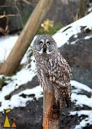 Girl on the pole, Skansen, Stockholm, Sweden, bird, Great Grey Owl, Strix nebulosa, captive