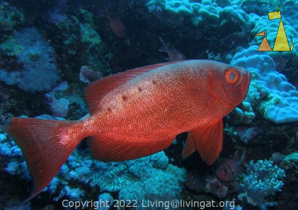 Goggle-eye, Red Sea, Egypt, fish, underwater, Goggle-eye, Common bigeye, Priacanthus hamrur