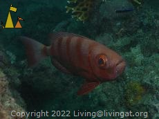 Goggle-eye, Sabang, Philippines, underwater, fish, Goggle-eye, Priacanthus hamrur