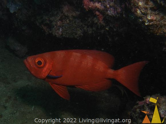 Goggle-eye, Sabang, Philippines, underwater, fish, cleaned, Goggle-eye, Priacanthus hamrur