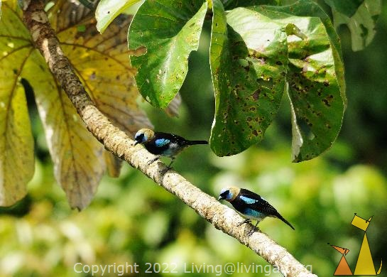 Golden-hooded Tanager, Canopy tower, Panama, bird, tree, Tangara larvata, Golden-hooded Tanager, pair