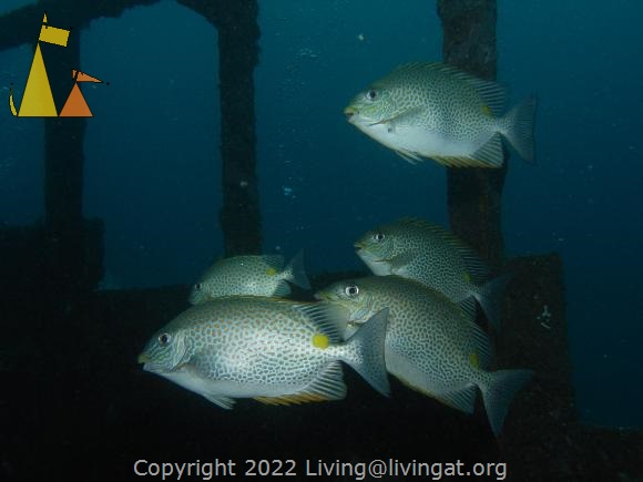 Golden rabbitfish, Alma Jane Wrecks, Sabang, Philippines, underwater, fish, Golden rabbitfish, Siganus guttatus, Alma Jane wreck