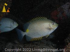 Golden rabbitfish, Sabang wrecks, Philippines, underwater, fish, Golden rabbitfish, Siganus guttatus