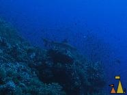 Gray Reef, Brother Island, Red Sea, Egypt, underwater, shark, blue, Gray reef shark, Carcharhinus amblyrhynchos, blue