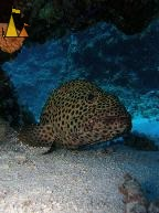 Greasy Grouper, Red Sea, Egypt, Greasy grouper, Epinephelus tauvina, underwater, fish