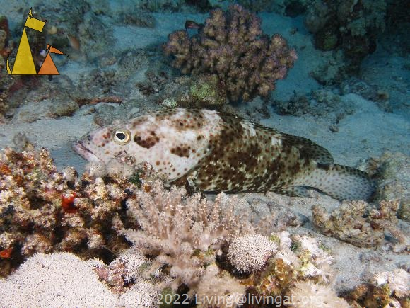 Greasy grouper, Red Sea, Egypt, underwater, fish, Greasy grouper, Epinephelus tauvina