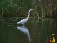 Great Egret, Black Dog reserve, Minneapolis, USA, bird, wading bird, Great Egret, Ardea alba