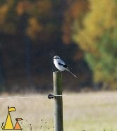 Great Gray Shrike, Angarn, Sweden, bird, Great Gray shrike, Lanius excubitor