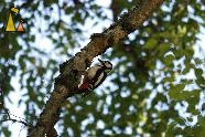 Great Spotted Woodpecker, Djurgården, Stockholm, Sweden, bird, Great Spotted Woodpecker, Dendrocopos major