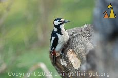 Great Spotted Woodpecker, Djurgården, Stockholm, Sweden, bird, Male Great Spotted Woodpecker, Dendrocopos major