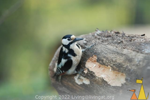 Great Spotted Woodpecker, Stockholm, Sweden, bird, Male Great Spotted Woodpecker, Dendrocopos major
