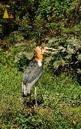 Greater Adjutant, Tamao Wildlife Rescue Center, Cambodia, bird, Leptoptilos dubius, Greater Adjutant, captive