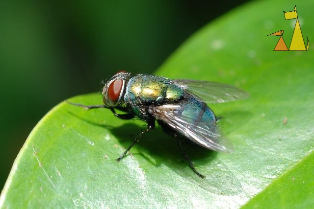 Green Bottle Fly, Angkor Thom, Cambodia, insect, macro, fly, green, Lucilia sp