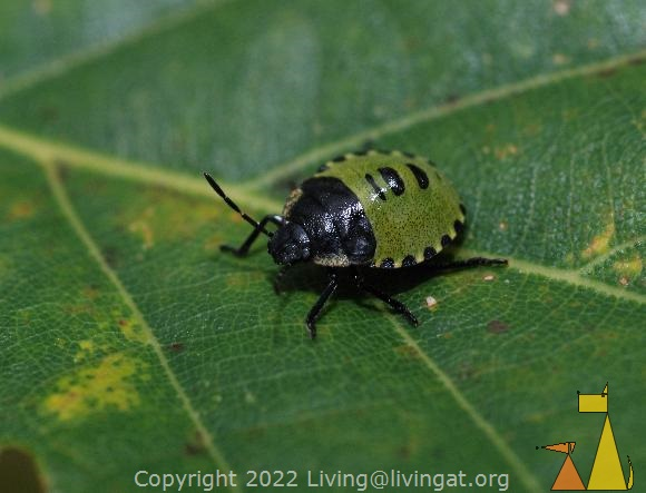Green shield bug, Landet, Sweden, insect, bug, Green shield bug, Palomena prasina