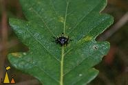 Green shield bug, Landet, Sweden, insect, bug, Green shield bug, Palomena prasina, Quercus robur