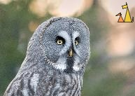 Grey Owl Portrait, Skansen, Stockholm, Sweden, bird, portrait, Great Grey Owl, Strix nebulosa, captive