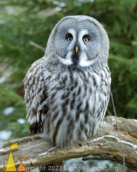 Grey Owl, Skansen, Stockholm, Sweden, bird, Great Grey Owl, Strix nebulosa, captive