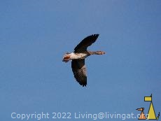 Greylag Goose flying, Angarn, Sweden, bird, flying, Greylag Goose, Anser anser