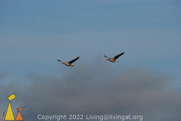 Greylag geese in the clouds, Angarn, Sweden, bird, flying, clouds, Greylag Goose, Anser anser