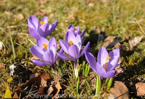 Group Purple Spring Crocus, Landet, Sweden, Plant, flower, Crocus, Crocus vernus