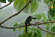 Guinness bird, Cannopy Tower, Panama, bird, Guinness, Collared Aracari, Pteroglossus torquatus
