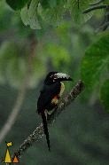 Guinness bird eye contact, Cannopy Tower, Panama, bird, Guinness, Collared Aracari, Pteroglossus torquatus